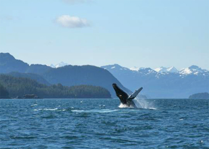Whales in Prince William Sound