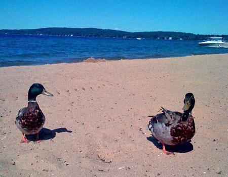 ducks_beach.jpg
